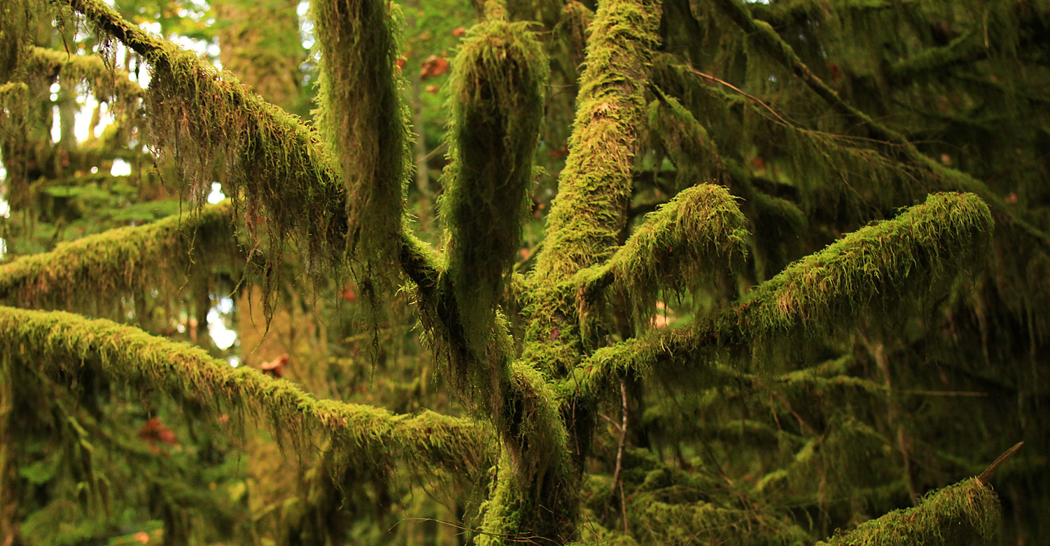 Moss In Ancient British Columbia